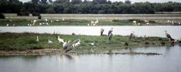 Marais_du_vigueirat-herons.jpg (55936 octets)