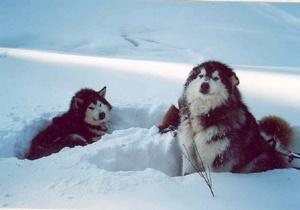 Deux malamutes d'Alaska