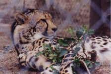 guepard2.JPG (32341 octets)