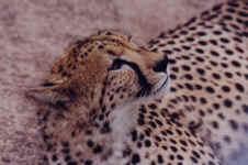 guepard.JPG (43499 octets)