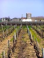 Les vignes : un des symboles de l'île de Ré