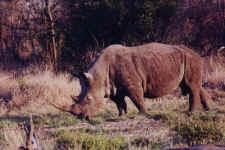 rhino.JPG (55231 octets)