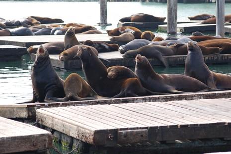 Irrésistibles sea lions