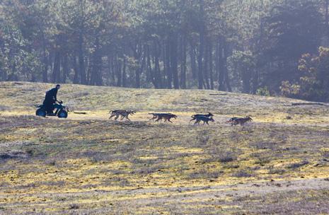 Chiens de traineau en Vendeé - © httpbiraud-photographies.com