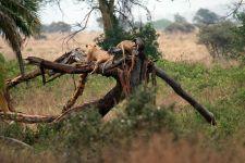 Lionnes sur une branche