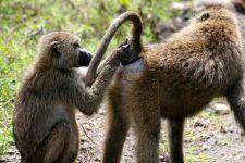 Toilette de babouins