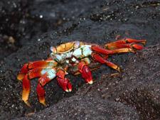 Crabe Ayapa