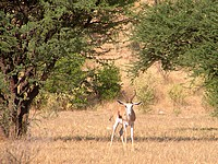 Springboks - Damaraland