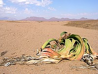 Welswitschias - Damaraland