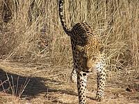 Leopard drive à la Dusternbrook Guestfarm