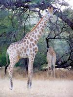 Girafes - Dusternbrook Guestfarm