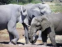 Eléphants - Etosha