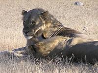 Lions - Parc d'Etosha