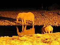 Elépahnt et rhinocéros sur le plan d'eau éclairé d'Okaukuejo