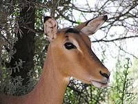 Impala à face noire - Mont Etjo Safari