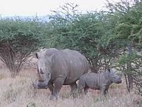 Rhinocéros blancs - Mont Etjo Safari