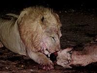 Lion dominant dévorant la tête d'un oryx - Mont Etjo Safari