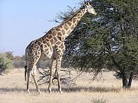 Girafe - Mont Etjo Safari