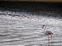 Flamant Rose - Lagune de Walvis Bay