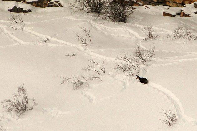 Dans la neige, les chamois se repèrent aisément.