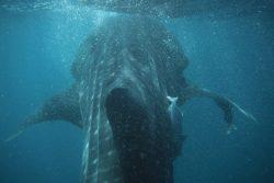 Basse Californie : nage avec le requin-baleine