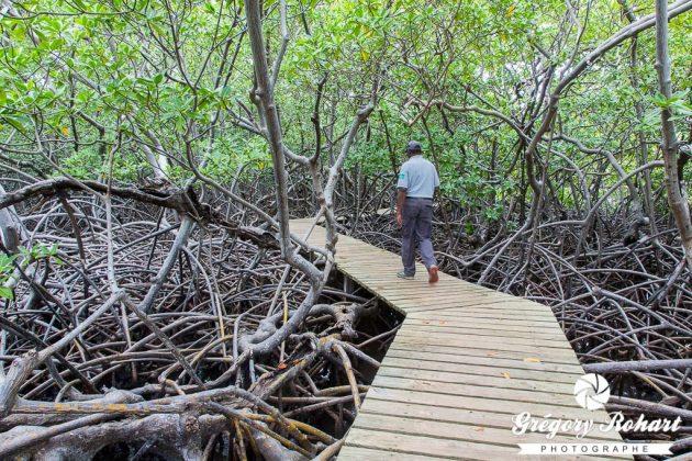 Balade à travers la mangrove de la pointe de la Caravelle.