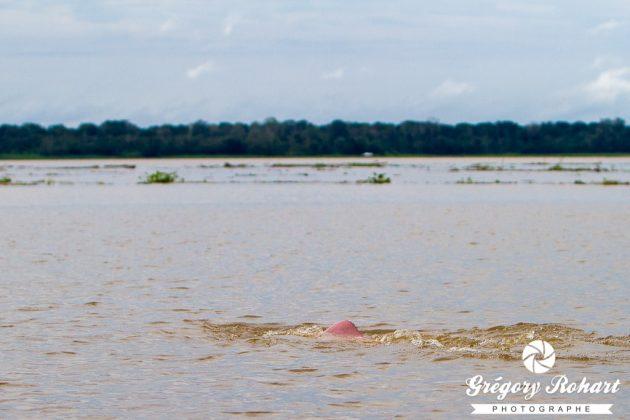 Le dauphin rose vit dans les eaux du fleuves Amazone. C'est un animal protéger car il est braconné par les pêcheurs qui se servent de sa graisse pour servir d'appât.