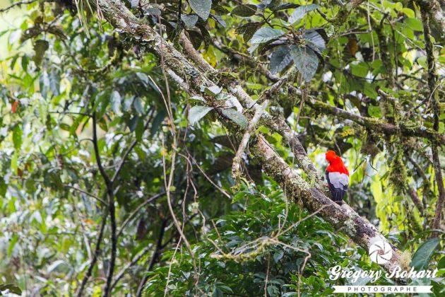Un Coq-de-Roche près de Jardín. Pas facile à voir ce bel oiseau rouge.