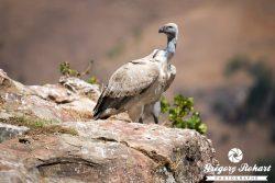Giant's castle, les peintures des Bushmen et l'observatoire des vautours