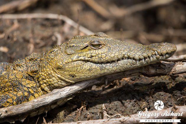Gros plan sur un jeune crocodile