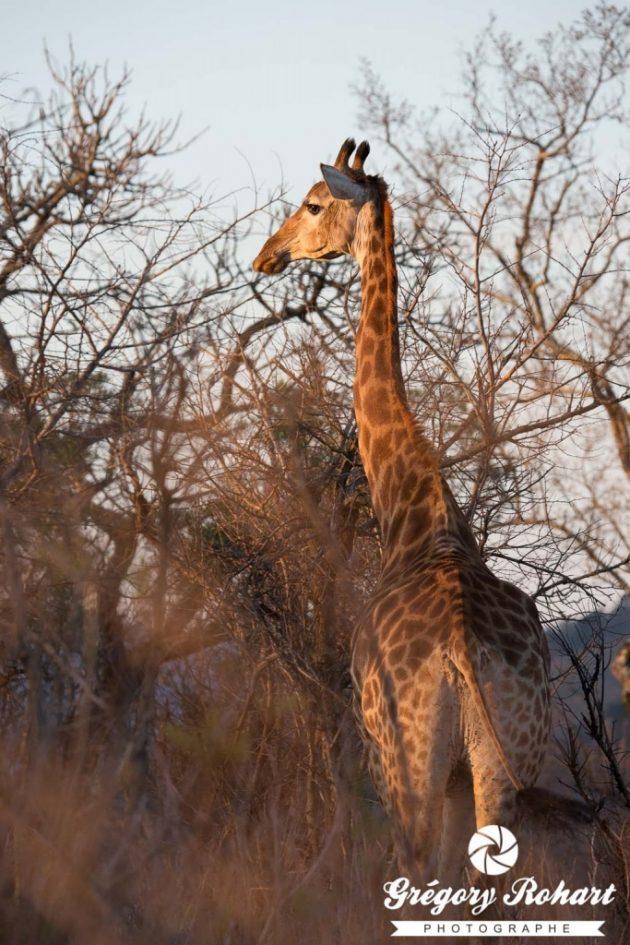 L'observation des girafes est souvent un joli moment plein de grâce.