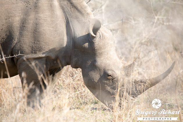 Imfolozi Kluhluwe est le meilleur endroit au monde pour observer le rhinocéros blanc