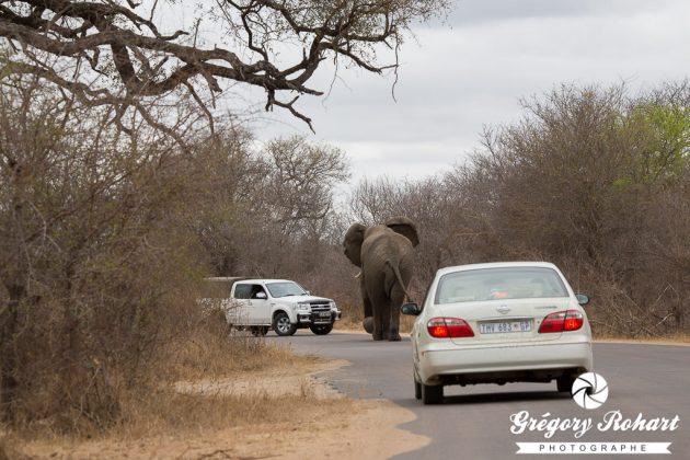 Les éléphants sont les maîtres des lieux. Les automobilistes n'ont qu'à bien se tenir.