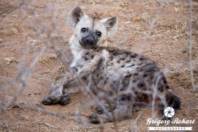 Jeune hyène tâchetée : c'est mignon à cet âge là !