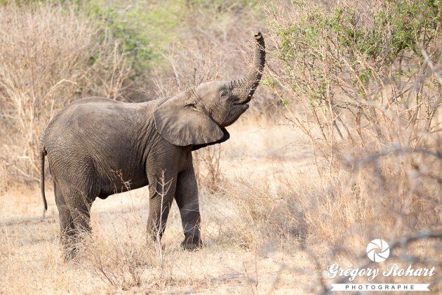 Cet éléphanteau nous chargera quelques secondes plus tard