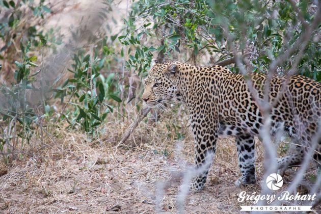 Pas facile à observer, le léopard est pour moi le plus beau des félins après mon chat