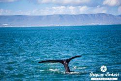 Les baleines d'Hermanus et le vin de Stellenbosch