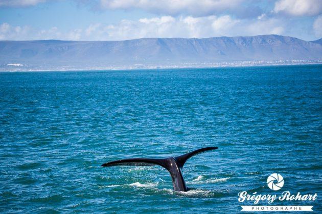 Des baleines Franches Australes comme s'il en pleuvait
