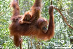 Les orangs-outans de Sumatra en 25 photos