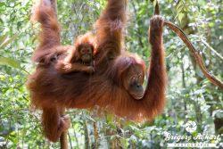Les orangs-outans de Sumatra en 25 photos