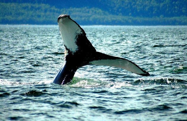 Dans la baie de Tadoussac sont visibles la plupart des espèces de baleines, sans compter phoques et dauphins. © Marc Loiselle