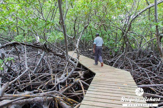 Mangrove de la Pointe de la Caravelle