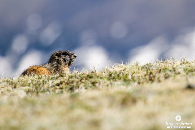 Marmotte sur une pelouse d'altitude