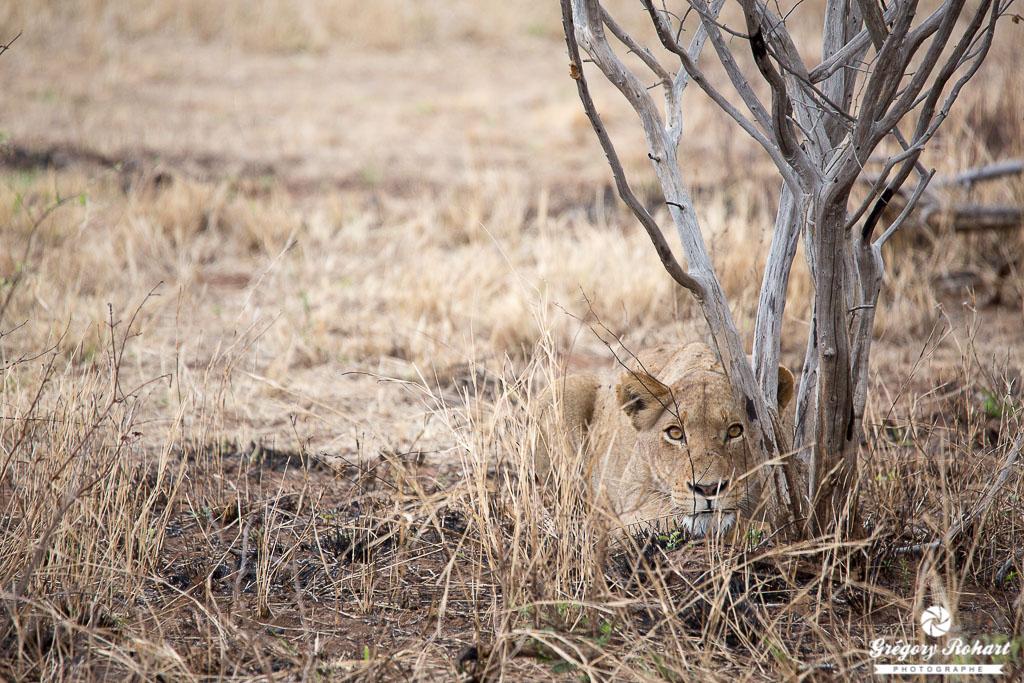 Une lionne qui se cache. Mon chat fait la même chose ;)