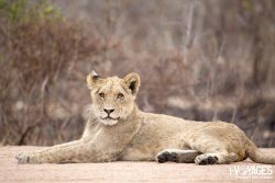 Safari dans le Kruger en vidéo