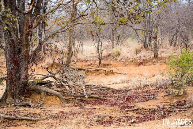 Guépard dans la réserve du Makalali Game Lodge