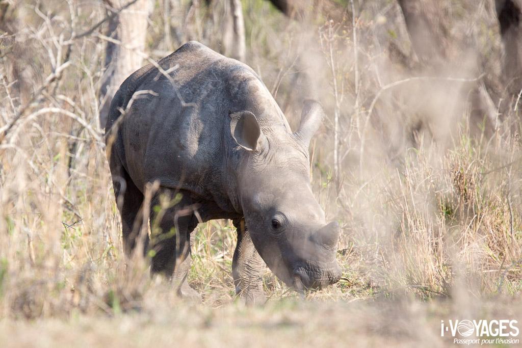 Jeune rhinoceros blanc Imfolozi/Hluhluwe
