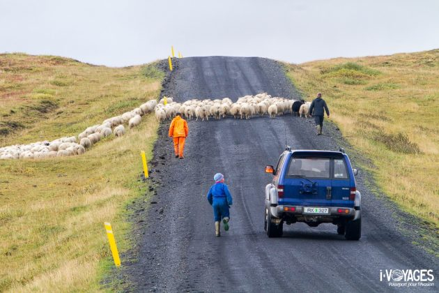 Islande : moutons sur la piste
