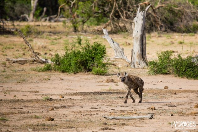 Hyène tâchetée