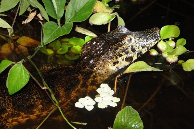 J'ai traqué le caïman au Pantanal